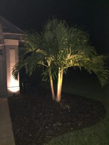 landscape lighting on a robellini palm tree at night